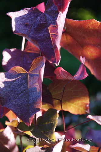cercis-forest-pansy