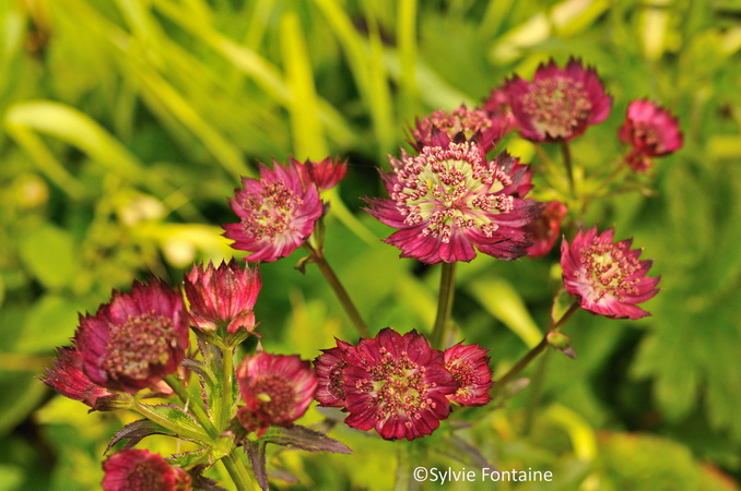 astrantia-moulin-rouge