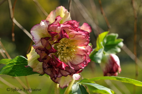 hellebore-jardin-remarquable-sylvie-fontaine-nord-maroilles